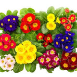 Bunte frische Frühlingsblumen primula