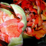 Paeonien-Tulpe