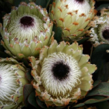 Protea Barbigeria