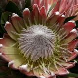 Protea King-